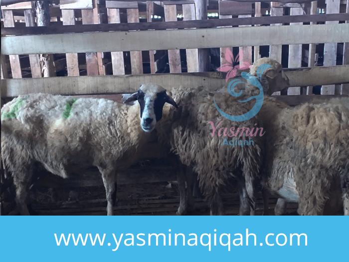harga kambing aqiqah