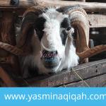 Jual Kambing Aqiqah Murah di Jakarta