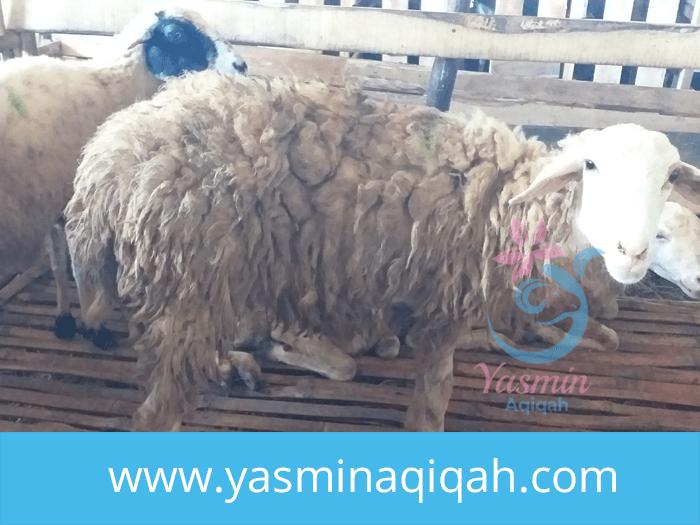 jual kambing aqiqah